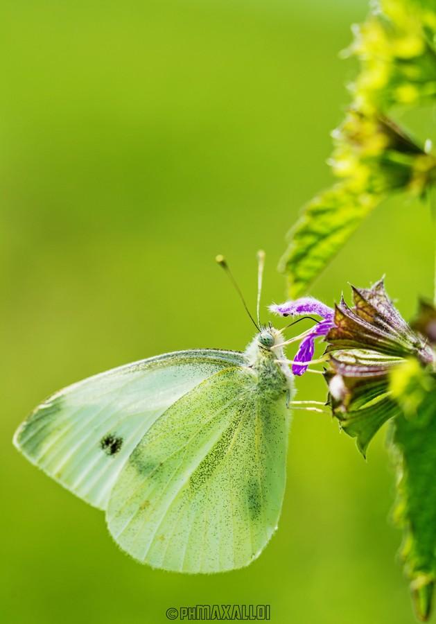 Farfalle 01