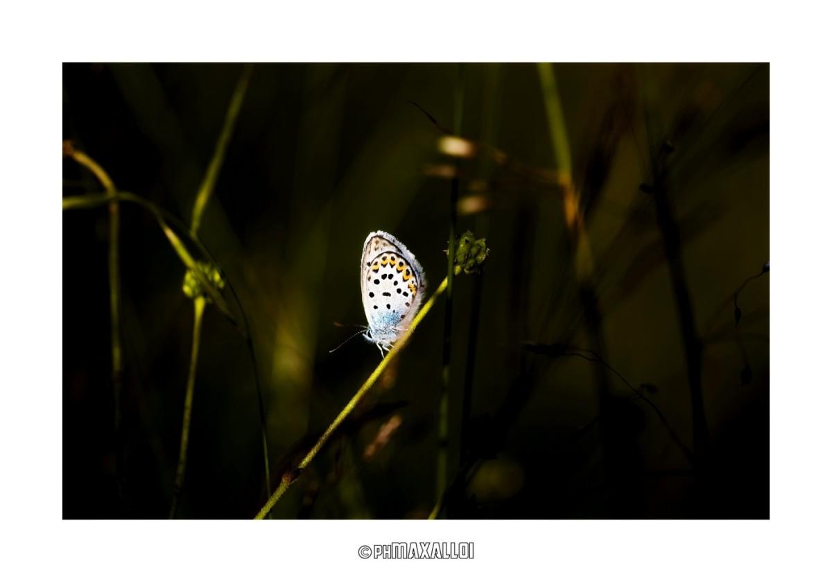 Farfalle  09