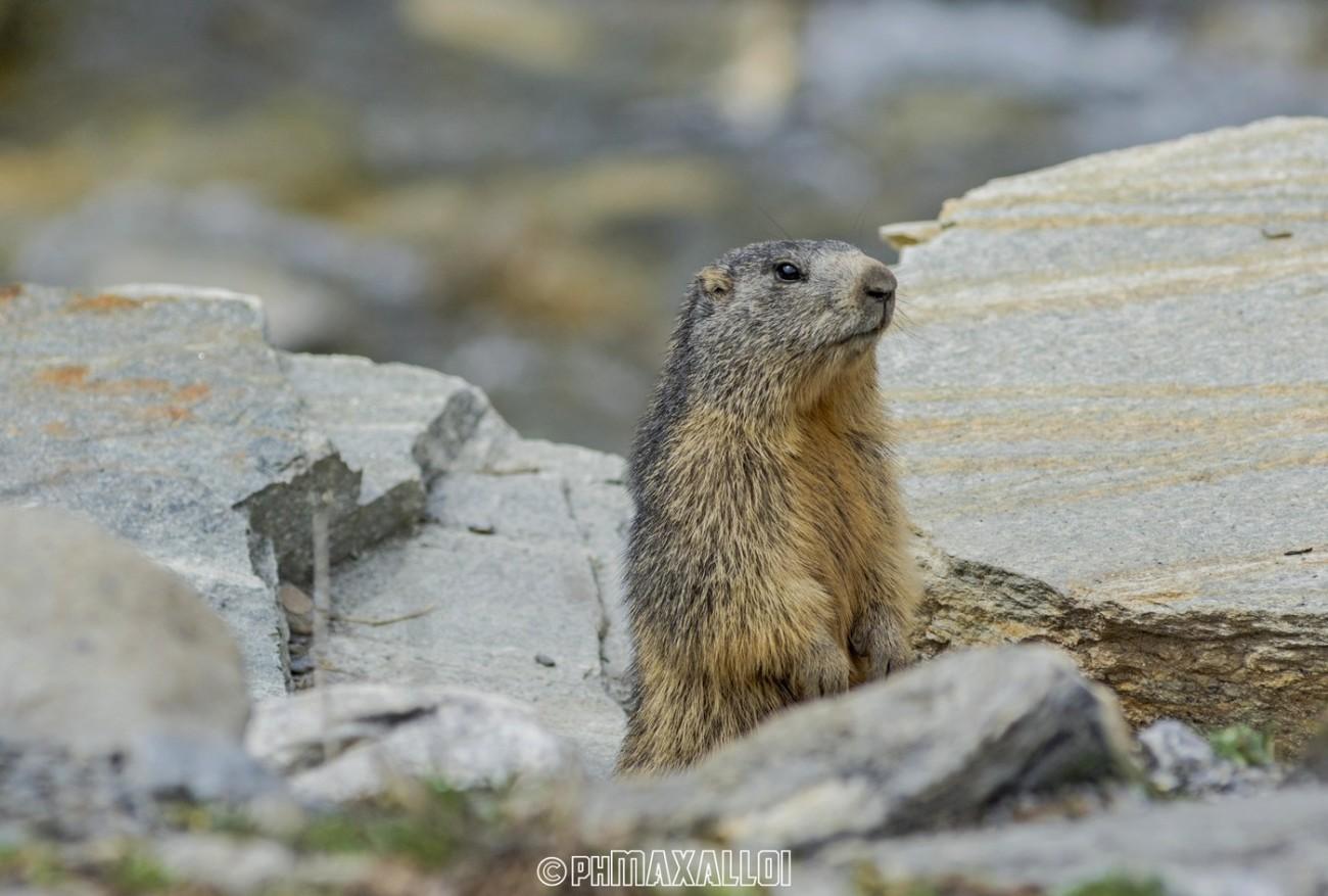 Marmotta 01
